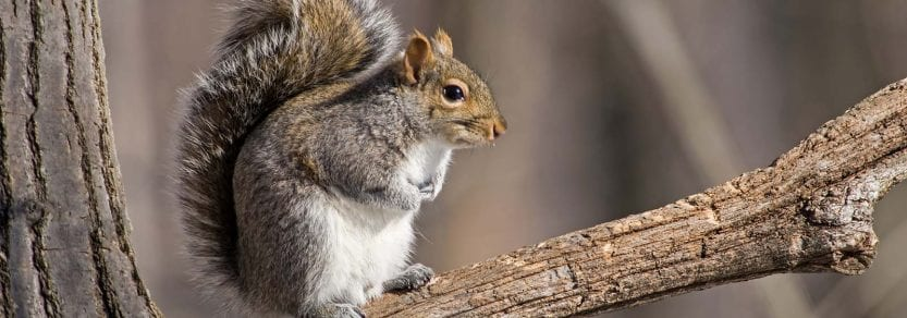 Eastern gray squirrel sitting on a branch.