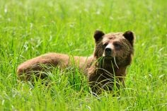 grizzly-bear-grass-credit-Greg-Hart-236x