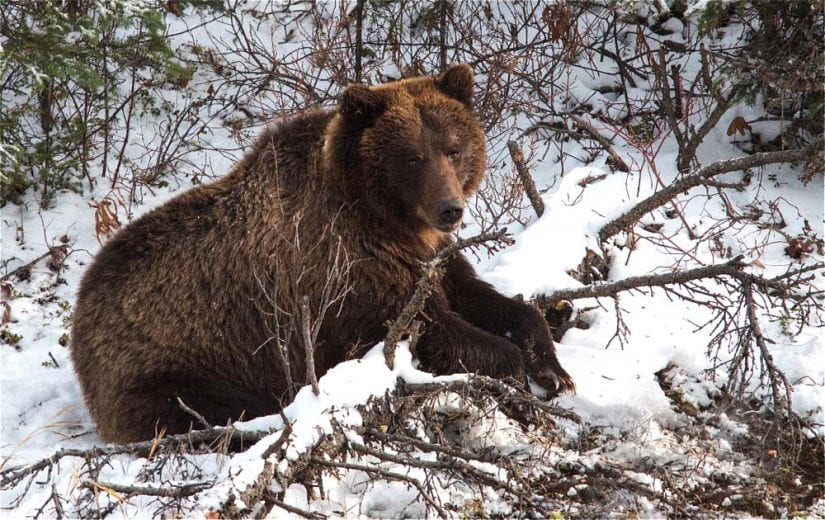 Wild grizzly bear lounging over tree branch in snow. Photo by Chris Aaron Gale