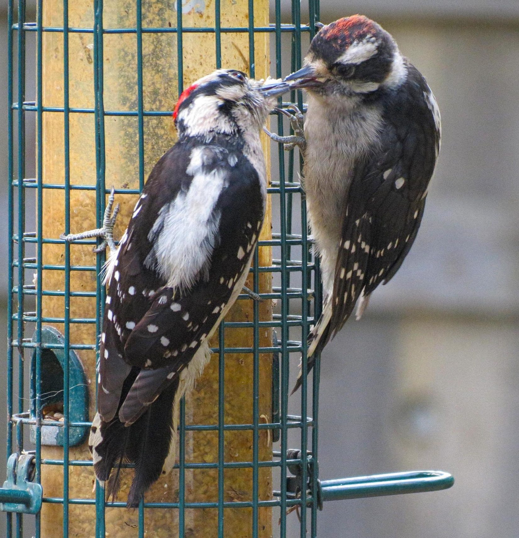 Woodpeckers at suet feeder
