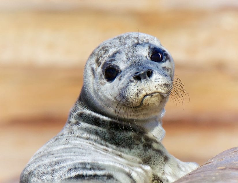 Cute wild harbour seal pup looking back