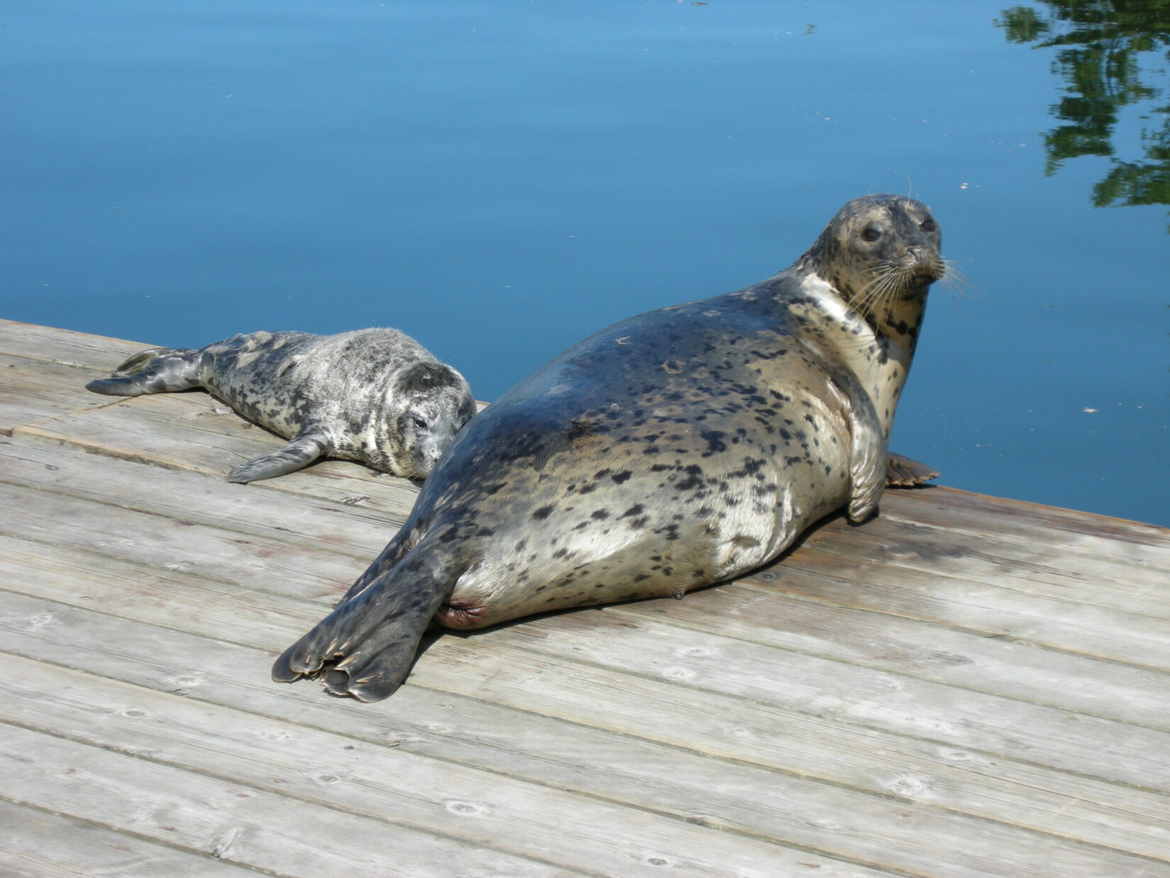 Harbour seal pup with mom on dock