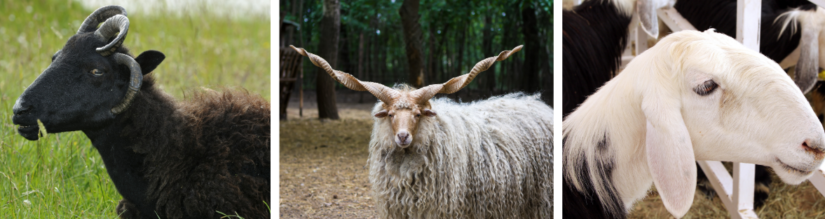From left to right, photo of a Hebridean sheep, Racka sheep and Najdi sheep.