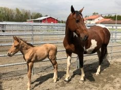 Sweat Pea Horse and her Foal