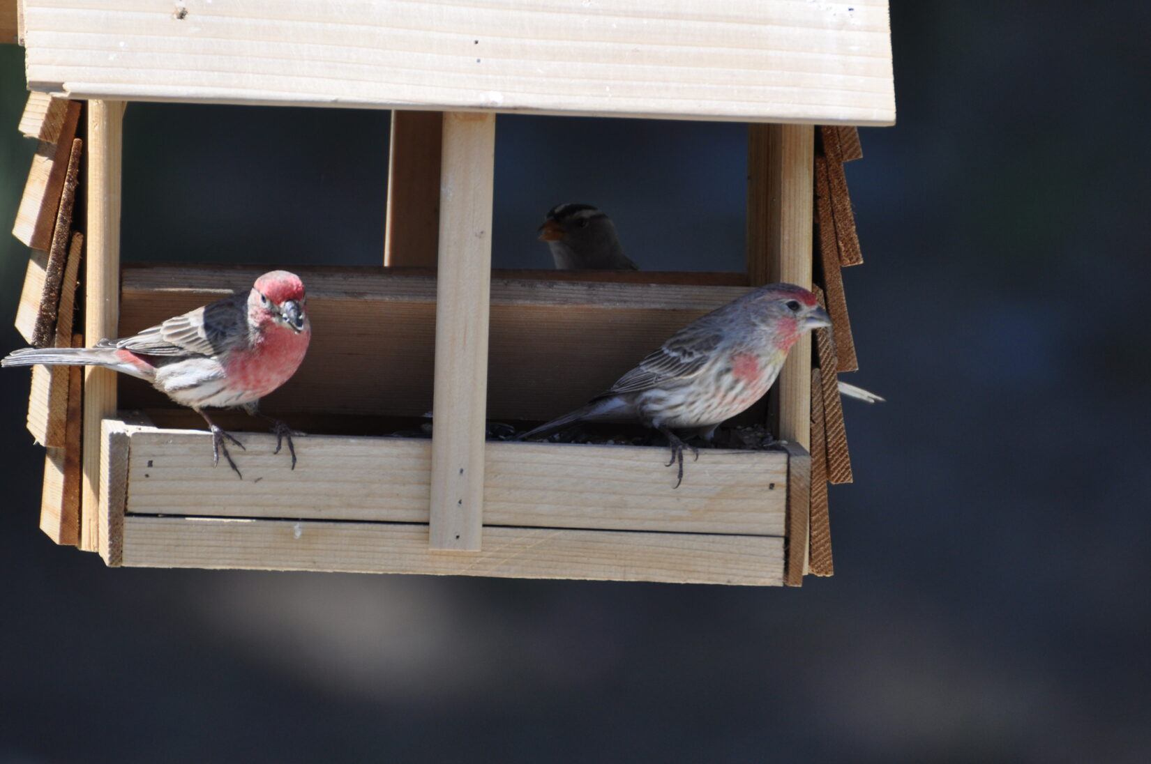 Finches on bird feeder