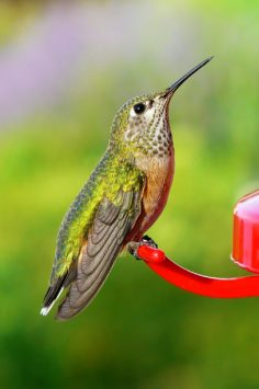 Rufous hummingbird sitting at feeder
