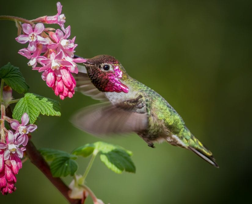 Wild hummingbird with pretty pink and green colours feeding from a pink flower