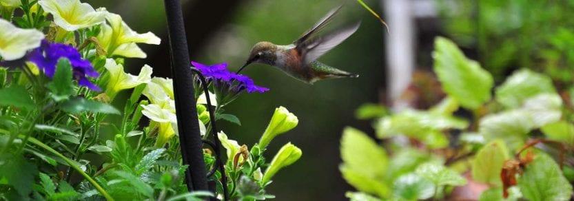 Wild hummingbird feeding from purple flower