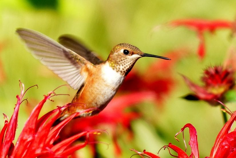 Wild hummingbird flying around red flowers