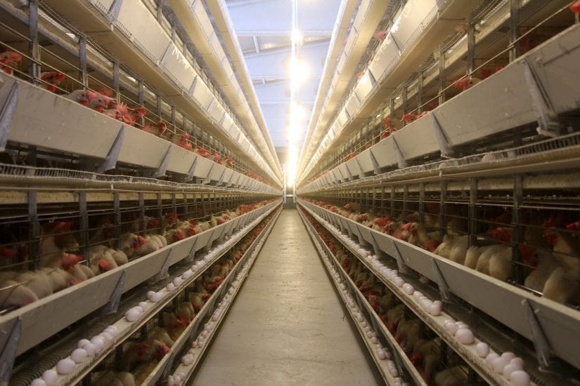 Help us speak for animals used in intensive farming