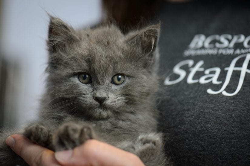 grey kitten being held