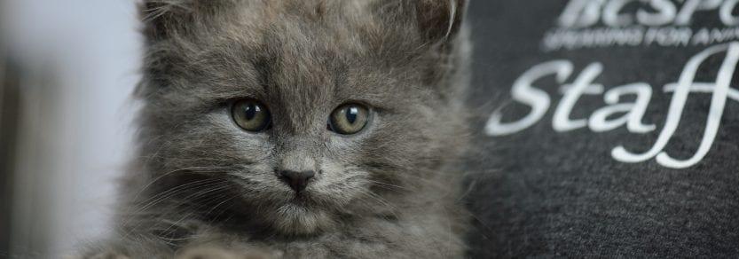 grey kitten being held