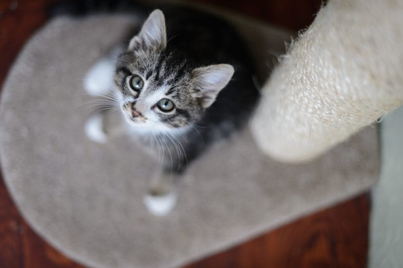 kitten looking up from cat tree