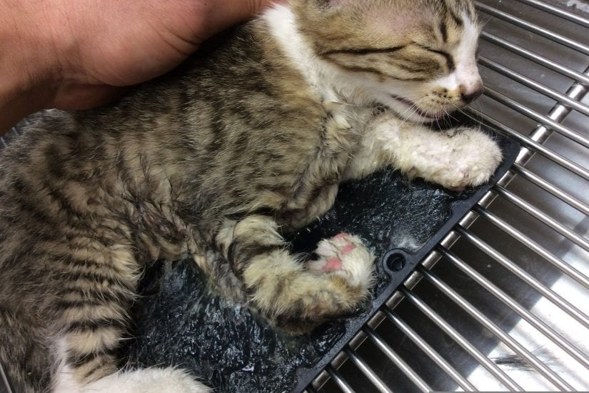 Lola the kitten was found stuck to a glue board in West Kelowna and, luckily, was saved. Photos courtesy of Rose Valley Veterinary Hospital.