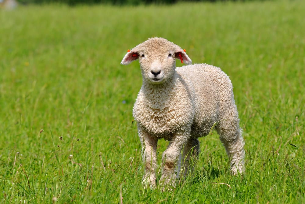 Sheep and lamb production in Canada