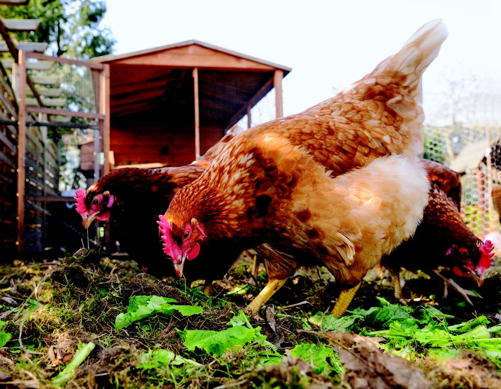 Caring for backyard chickens | BC SPCA