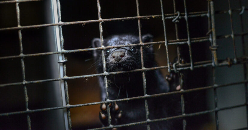 Mink kit in a cage at a fur farm in British Columbia.