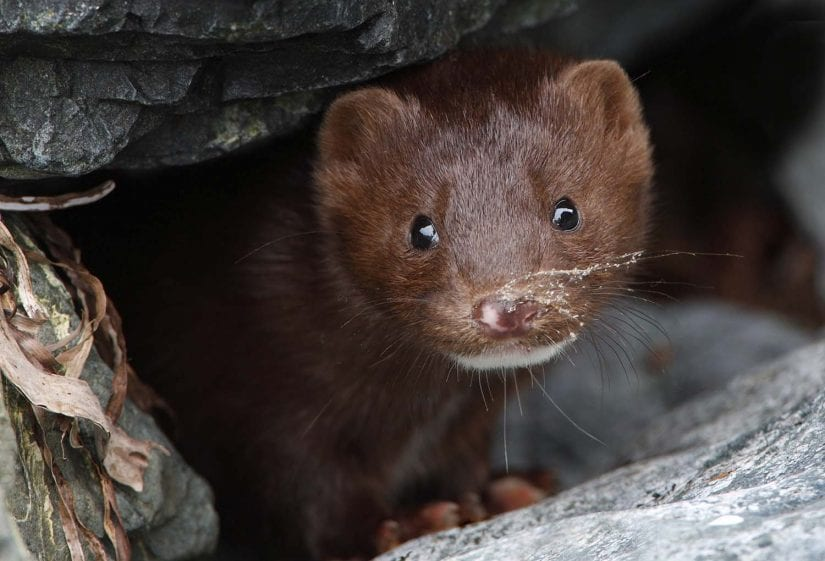 Close up eye contact shot of cute curious wild mink looking out from rocks