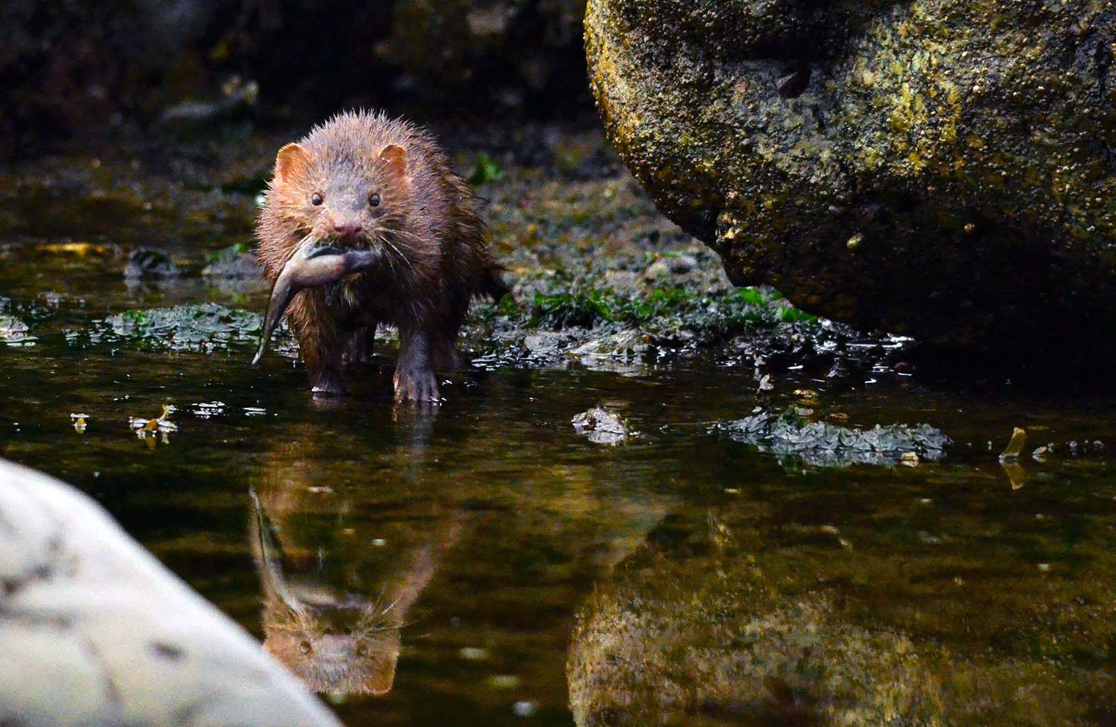 Wild mink hunting with caught fish in mouth