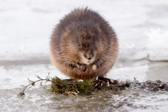 Wild muskrat standing on plants on a beach