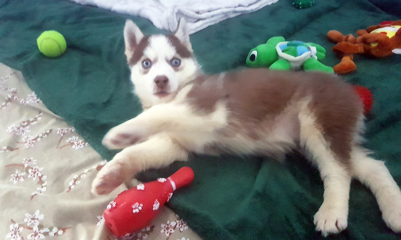Uki husky puppy