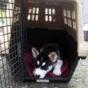 Bear the husky puppy