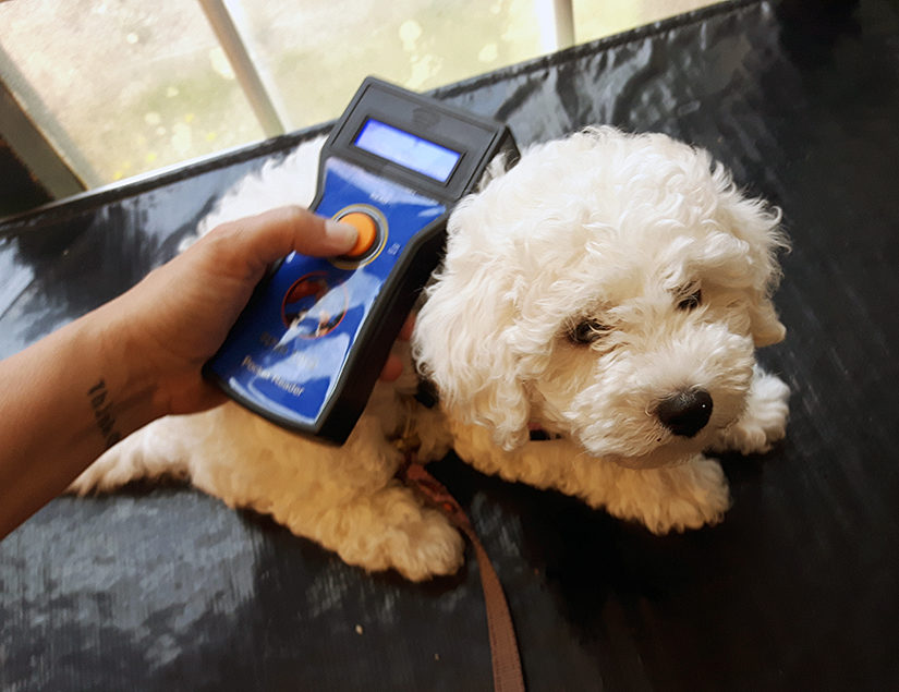 Bichon Frise being scanned for a microchip