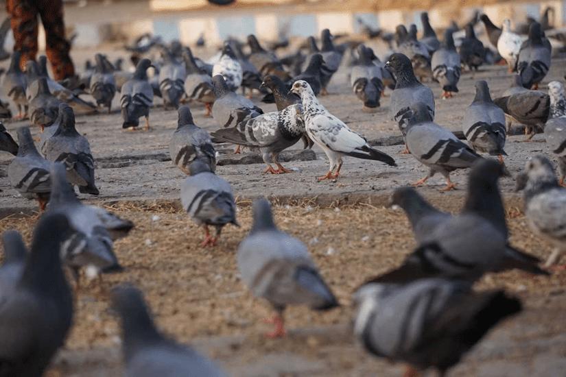 flock of pigeons, TransLink