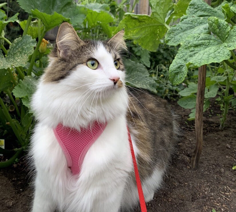 cat in garden with harness