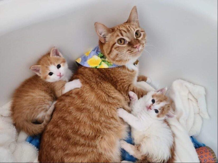 lemon cat with kittens
