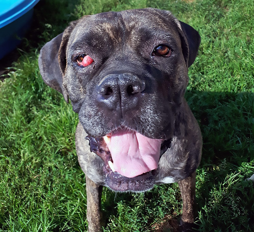 Coco with cherry eye