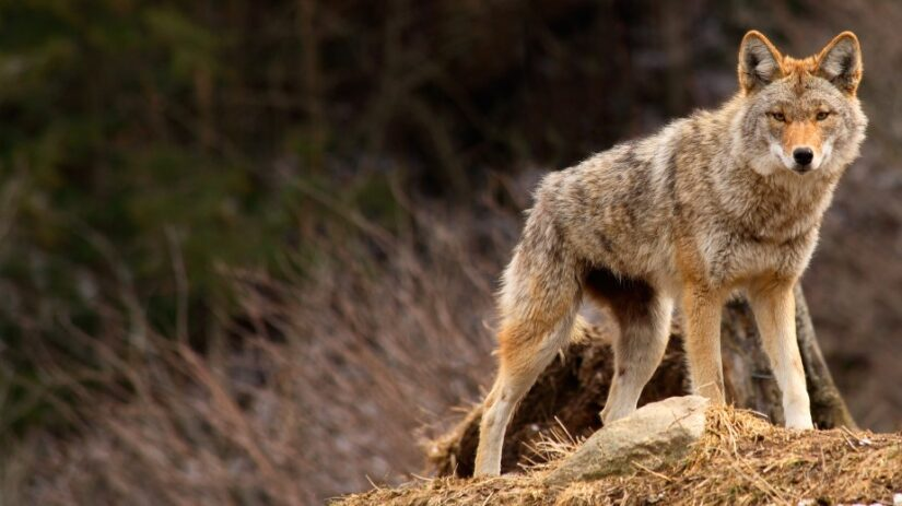 coyote outdoors