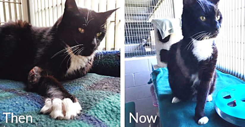 Boots the cat, before and after his operation
