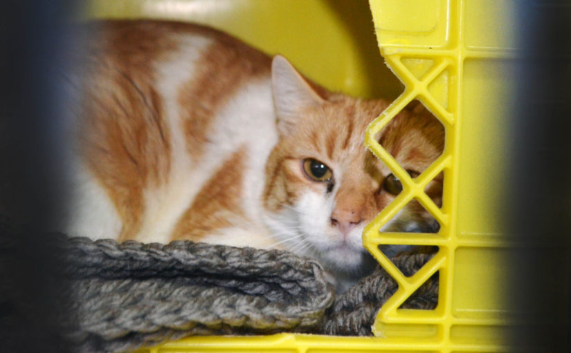 Scared, sick orange and white cat, hiding in kennel