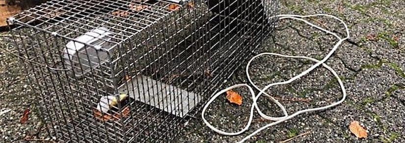 A dangerous home-made raccoon trap