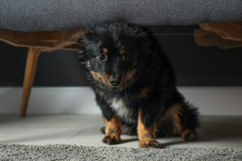 dog hiding under the bed