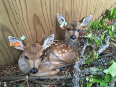 Fawns at Wild ARC