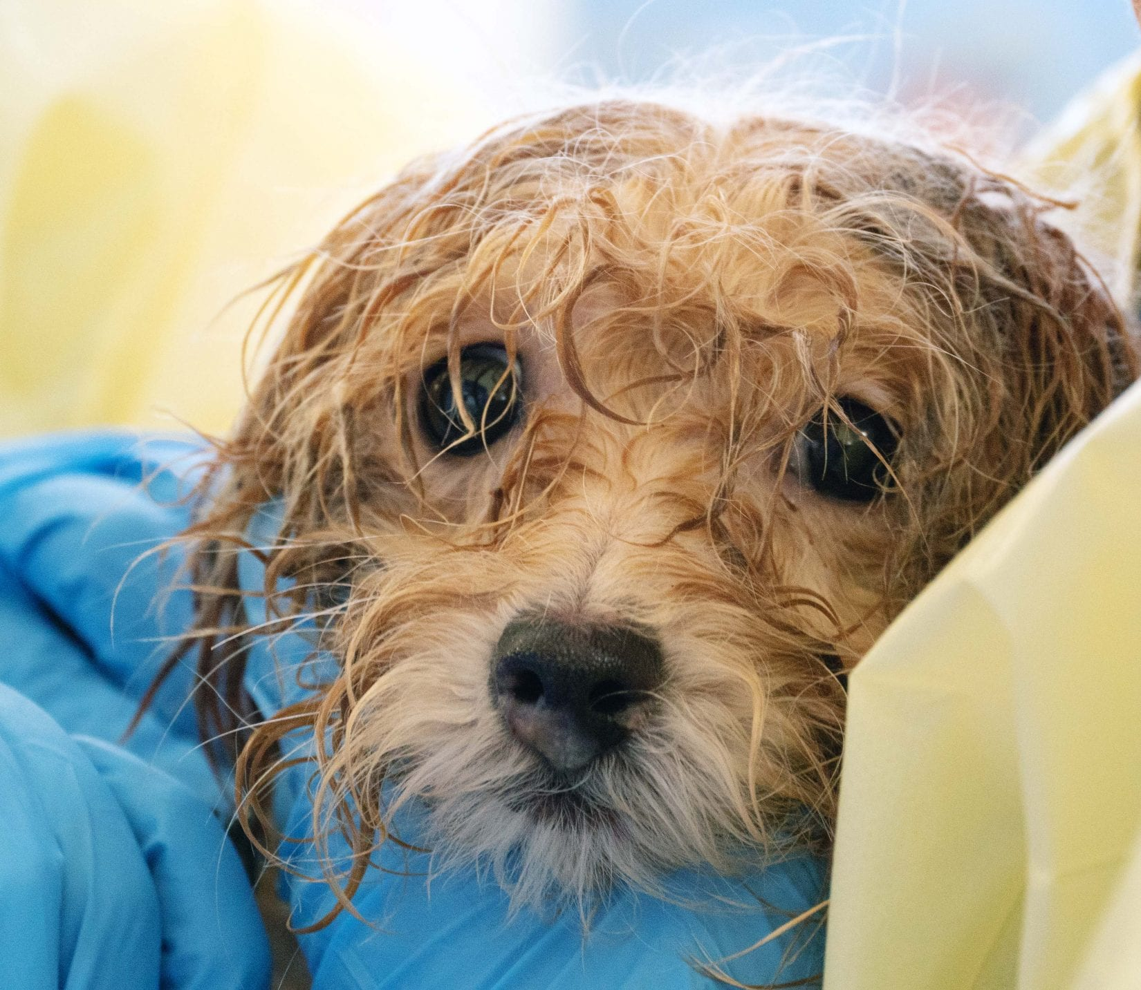 BC SPCA rescues 45 Havanese dogs on Vancouver Island | BC SPCA