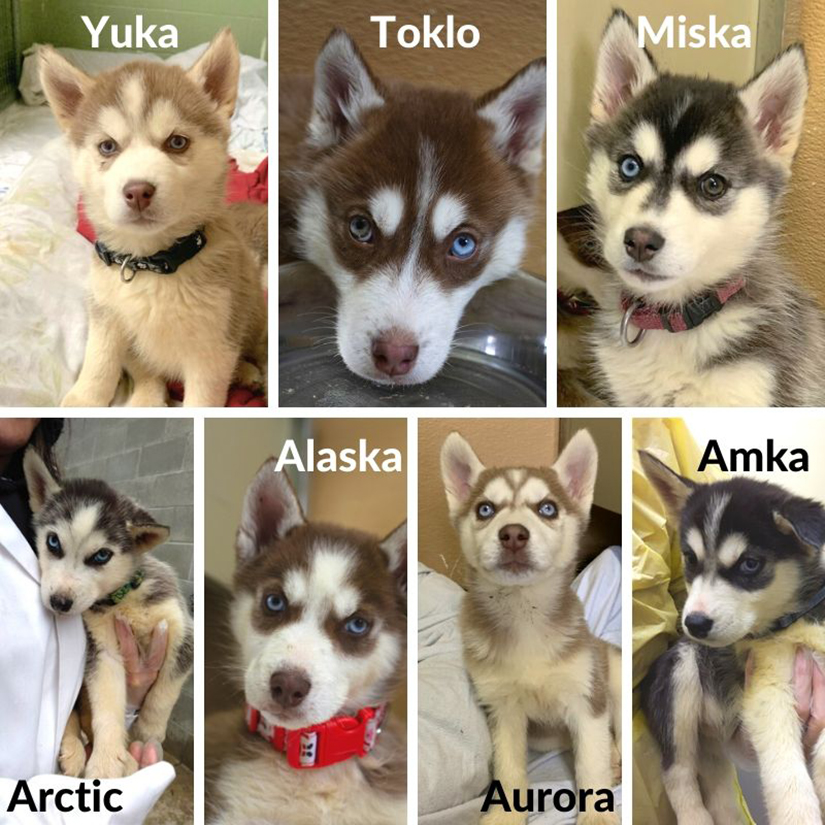 Surrendered Adult Huskies Find Their Forever Homes Bc Spca
