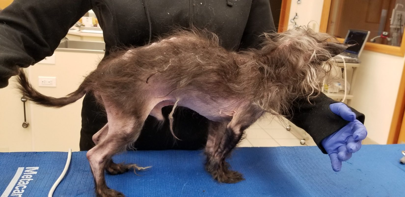 Hoss, a 17-year-old Chinese Crested, is examined by veterinarians.