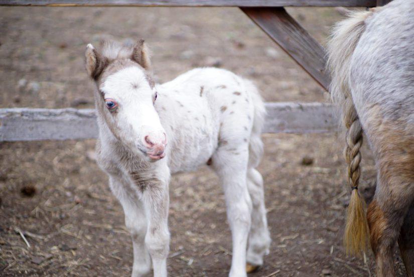 mini horse foal standing alone