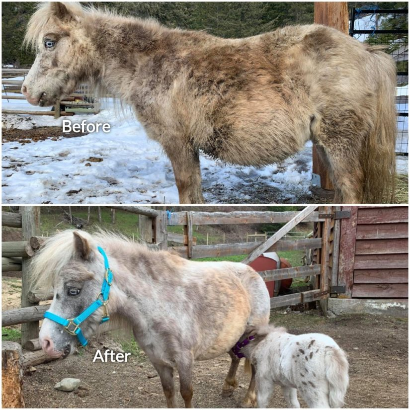 mini horse hannah before and after photo
