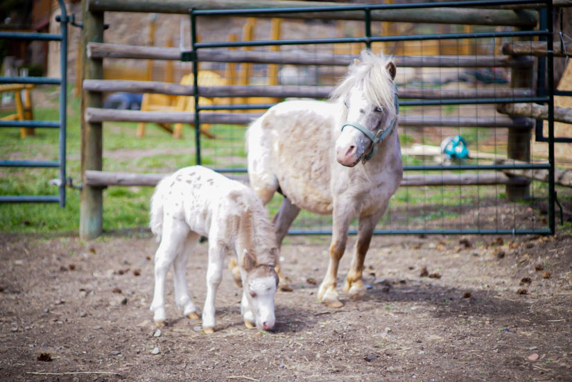 mini horse stands next to her foal