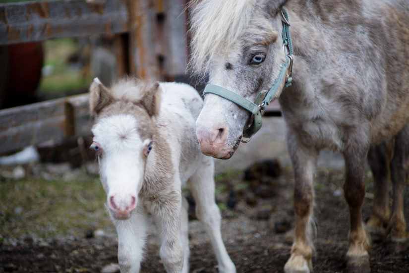 mini horse with her foal