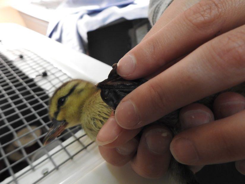 injured duckling