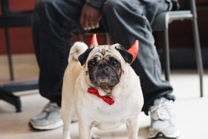 Rufus pug