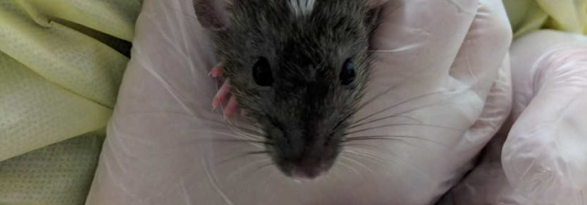 One of dozens of rats who have come into Victoria SPCA care in November 2018.