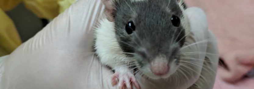 One of dozens of rats brought to the Victoria SPCA in November of 2018.