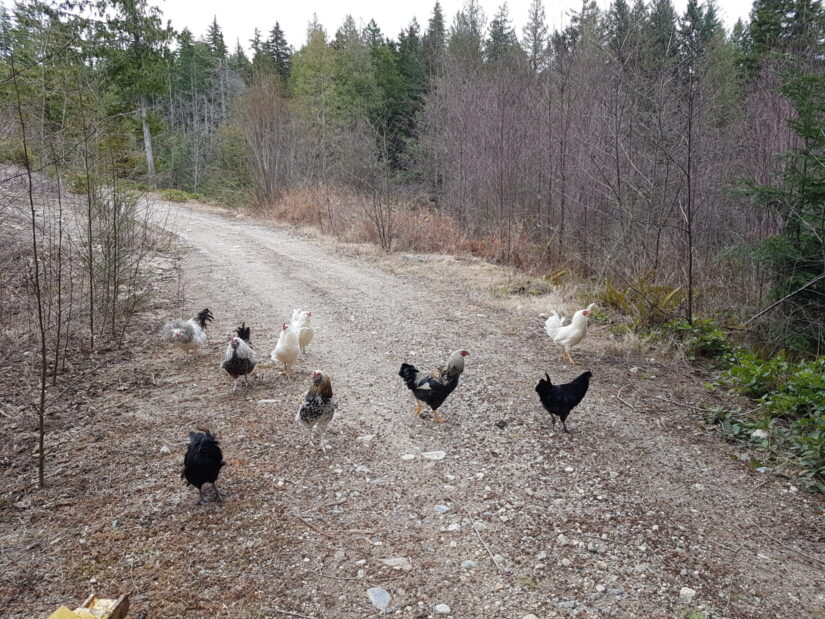 news roosters