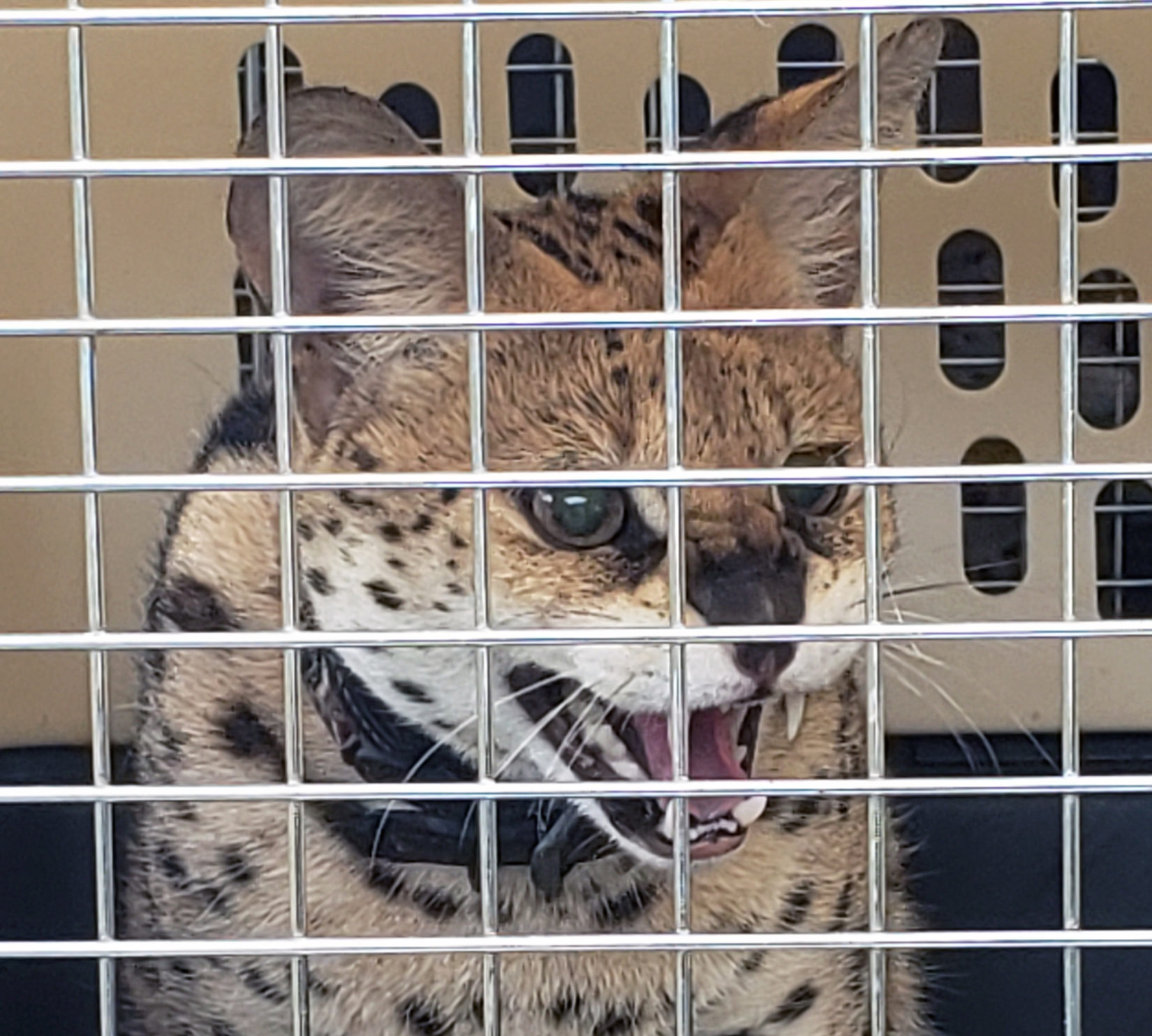 BC SPCA seizes 13 serval cats in distress from Little Fort